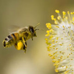 The Buzz on Bees: Policymakers Push to Protect Pollinators
