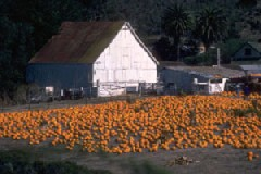 Farm with pumpkin patch and white barn in the background