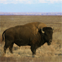 Photo of American buffalo on the Colorado plains.