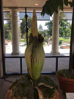 "A photo of ""Lil Stinky"" the corpse flower at the Huntington Botanic Gardens"